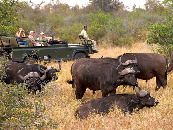 Buffalo in Kruger Nation Park